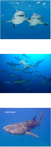 haaien leggen eieren